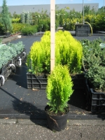 Thuja occidentalis Aurea Nana C2 20/25
