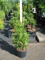 Thuja occidentalis Konfetti C2 30/40