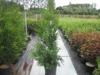 Thuja plicata Atrovirens C20 175/+