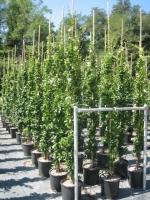 Trachelospermum jasminoides150/175 C18