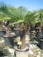 Trachycarpus fortunei 60/80 C