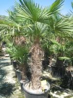 Trachycarpus fortunei 100/120 C90