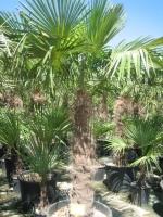 Trachycarpus fortunei 120/140 C90