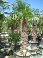 Trachycarpus fortunei 140/160 C