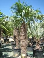 Trachycarpus fortunei 160/180 C