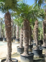 Trachycarpus fortunei 200/250 C