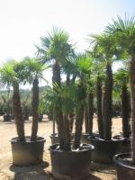Trachycarpus fortunei 3 stam 200/250 C