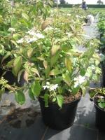 Viburnum Plicat. Mariesii C3 30/40