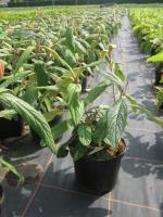Viburnum Rhytidophyllum C3 30/+