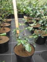 Viburnum burkwoodii Anne Russel 40/+ C3
