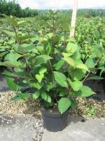 Viburnum burkwoodii 60/+ C3
