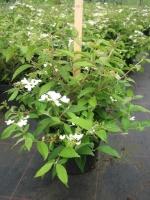 Viburnum plic. Mariessii 50/+ C5