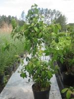 Viburnum plicatum Tomentosa 100/+ C10