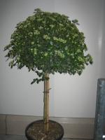 Viburnum tinus 1/2 stam C35