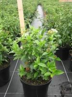 Viburnum tinus 40/50 C5