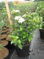 Viburnum tinus 50/60 C7.5