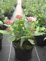 Viburnum tinus Gwenllian C3 30/40