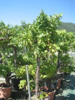 Vitis vinefera 20/25 C75