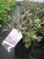 Weigela nana Purpurea C3 40/+ cm